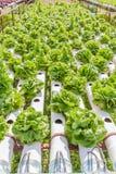 Verdura organica fresca nell'azienda agricola idroponica all'aperto del giardino Immagine Stock Libera da Diritti