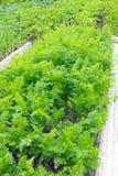 Verdura, orto domestico con le giovani piante della carota Foto del raccolto della carota per l'affare di cucina di eco Alimento  Immagini Stock