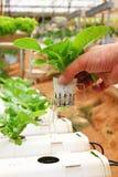 Verdura piantata facendo uso della coltura idroponica Immagine Stock Libera da Diritti