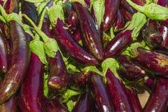 Verdura raccolta fresca della melanzana Immagini Stock Libere da Diritti