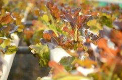 Verdura rossa di coltura idroponica. Fotografia Stock Libera da Diritti
