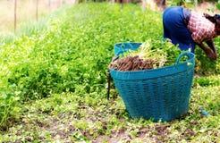 Verdura sui canestri in azienda agricola fotografia stock