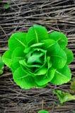 Verdura verde Fotografia Stock