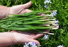 Verdura, verde, comida, cebolla, fresco, aislado, orgánico, sana, mano, planta, blanco, primavera, jardín, manojo, crudo, verdura Imágenes de archivo libres de regalías