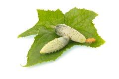 Verdura verde del cetriolo del cornichon Fotografia Stock