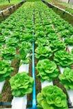 Verdura verde del hidrocultivo Foto de archivo libre de regalías