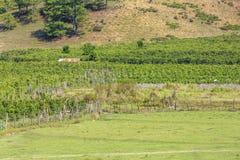 Verdura verde dell'azienda agricola Fotografia Stock Libera da Diritti