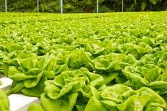 Verdura verde en granja Imagen de archivo libre de regalías