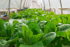 Verdura verde fresca Immagine Stock Libera da Diritti