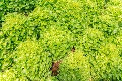 Verdura verde fresca del roble, Lactuca L sativa , ASTERACEAE imágenes de archivo libres de regalías