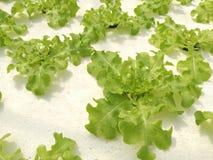 Verdura verde idroponica in azienda agricola idroponica Fotografie Stock