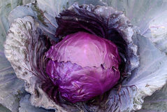 Verdura viola del cavolo del foglio Fotografia Stock