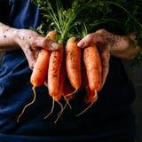 Verduras cosechadas frescas orgánicas El ` s del granjero da sostener las zanahorias frescas, primer Cosecha cuadrada Imagenes de archivo