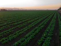 Verduras crecientes en California Foto de archivo