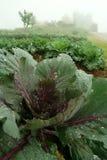 Verduras de ensalada verde frescas Imagenes de archivo