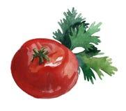 Verduras de la acuarela Tomate y perejil Imágenes de archivo libres de regalías