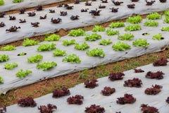 Verduras en la plantación foto de archivo libre de regalías