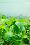 Verduras frescas del hidrocultivo Imagen de archivo libre de regalías