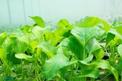 Verduras frescas del hidrocultivo Imagenes de archivo