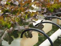 Verduras hidropónicas en la granja Imagenes de archivo