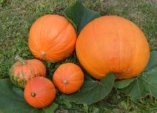 Verduras, jardín, natural, naturaleza, suelo, crecimiento, cosecha, calabaza, naranja, hojas, amarillo, verde, vitaminas, dieta,  Imagen de archivo libre de regalías