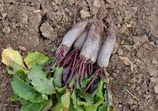 Verduras, jardín, natural, naturaleza, suelo, crecimiento, cosecha, remolacha, rojo, hojas, Borgoña, verde, vitaminas, dieta, com Imagen de archivo libre de regalías