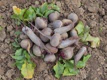 Verduras, jardín, natural, naturaleza, suelo, crecimiento, cosecha, remolacha, rojo, hojas, Borgoña, verde, vitaminas, dieta, com Imagenes de archivo