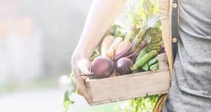 Verduras sabrosas frescas de Adult Man Holding del granjero en caja de madera en madrugada del jardín imagen de archivo
