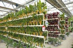 Verduras Soilless del cultivo Foto de archivo