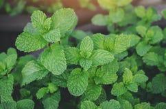Verduras tropicales del fondo de las hojas de menta Imagen de archivo libre de regalías