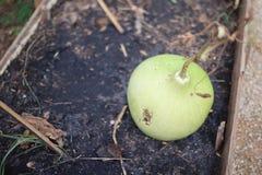 Verduras verdes grandes de la calabaza en la tierra fotografía de archivo
