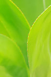 The verdure agave leaves Stock Photo