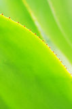 The verdure agave leaves Royalty Free Stock Photos