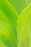Verdure agawy liście Zdjęcie Stock