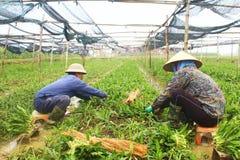 Verdure aromatiche del raccolto degli agricoltori Immagini Stock