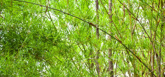 The verdure bamboo leaves,stems Stock Photography