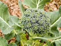 Verdure - broccolo organico del _ fotografia stock libera da diritti
