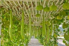 Verdure che placcano nell'azienda agricola moderna, Tailandia Immagini Stock Libere da Diritti