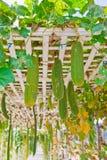 Verdure che placcano nell'azienda agricola moderna, Tailandia Fotografia Stock