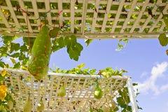 Verdure che placcano nell'azienda agricola moderna, Tailandia Fotografia Stock Libera da Diritti