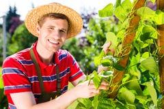 Verdure crescenti dell'uomo Immagine Stock