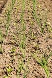 Verdure crescenti nell'orto Fotografie Stock