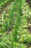 Verdure crescenti nell'orto Fotografia Stock Libera da Diritti