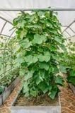 Verdure crescenti nella serra nel paese Alta cresta per la piantatura delle verdure fotografie stock libere da diritti