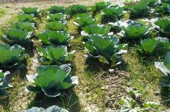 Verdure de ferme de plantation de chou photos stock