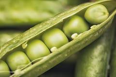 Verdure dei piselli Un baccello è aperto con il primo piano estremo dei semi come fondo Fotografia Stock Libera da Diritti