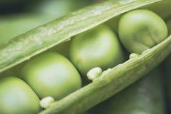 Verdure dei piselli Un baccello è aperto con il primo piano estremo dei semi come fondo Immagini Stock Libere da Diritti