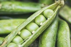 Verdure dei piselli Un baccello è aperto con il primo piano estremo dei semi come fondo Immagine Stock