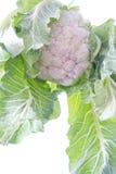 Verdure del cavolo Immagine Stock Libera da Diritti