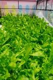 Verdure del convertito non tossiche Immagine Stock